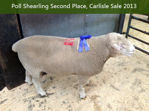 Poll Shearling Second Place, Carlisle Sale 2013